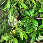Enjoy your nut! #squirrel #eat #snacktime #green #leaves #hide #scoiattolo #kyotogarden #bestanimal #hollandpark #londra #london #londonlife #troppotenero #park #nature #picoftheday