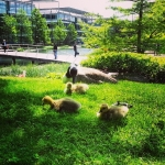 É periodo! #babyducks #ducks #pulcini #chiswick #businesspark #London #londra #animals #wildlife #park #green
