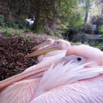 #pink #pelicans #edinburgh #zoo #scotland #scottish